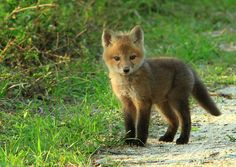 Baby fox, doesn't get much cuter than that now does it?