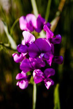 The Beautiful Sweet Pea Flower