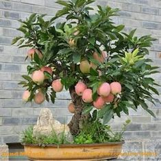 Trial Product Bonsai Apple Tree Seeds 30 Pcs Apple Seeds (used Wet Sand Sprouting )fruit Bonsai Garden In Flower Pots Planters Fruit Plants, Bonsai Plants, Bonsai Garden, Edible Plants, Bonsai Trees, Bonsai Apple Tree, Mini Bonsai, Apple Tree From Seed, Papaya Plant