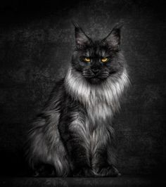 35 Breathtaking Pictures Of Maine Coons, The Largest Cats In The World
