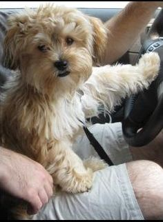 """""""YoChon"""". AKA Yorkie-Bichon mix. I found one at the puppy store yesterday but it was black and tan. Dream dog :)"""