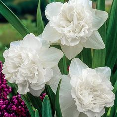"""White Favourite Daffodil, 14-16"""", mid spring"""