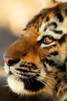 Simsa - the Amur Tiger Cub