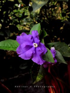 Purple Brunfelsia pauciflora Flower.  Already have this plant in her garden...  Yesterday, Today, Tomorrow ♥