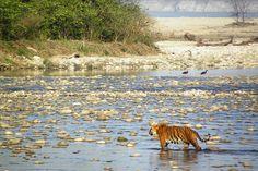 Tiger In Jim Corbett National Park,India