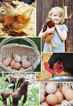 Buckeye Chickens, a breed that's friendly AND well tolerates cold and hot weather... for a future homestead!