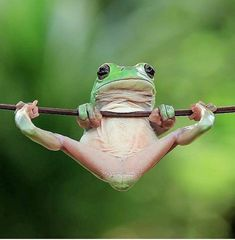 With frog photos taken by Indonesian photographer Tanto Yensen . - With the frog photos taken by Indonesian photographer Tanto Yensen, we see, - Cute Baby Animals, Animals And Pets, Funny Animals, Wild Animals, Animals Photos, Funny Frogs, Cute Frogs, Green Tree Frog, Green Trees