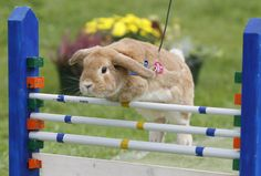 Rabbit Hopping - a growing sport for pet rabbits in Central Europe.  (look out for it at an agricultural show; it's made it to Australia !)