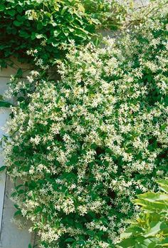 star jasmine june to august