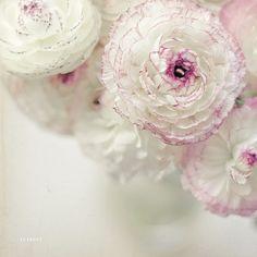 vanilla ruffles (by {cindy})