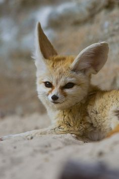 Fennec Fox by asbimages.co.uk