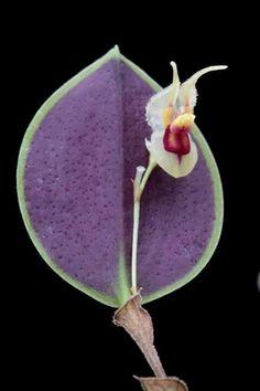 Orquídea rara