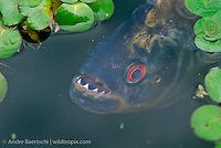 White Piranha (Serrasalmus rhombeus) amidst floating plants at the edge of an oxbow lake in lowland tropical rainforest, Manu National Park, Madre de Dios, Peru.