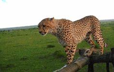 Watch This Graceful Cheetah