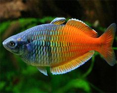 Boesemani Rainbow (freshwater, Southeast Asia, Thailand) - I <3 rainbow fish of all kinds, and these are my favorite rainbows. I love their healthy adult color display in its unusual front-to-back two-tone look. A school of these is like a sunny day.