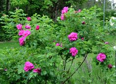 Rugosa 'Hansa' is a fast grower and once it blooms it won't stop blooming until fall - a Windham no-spray rose