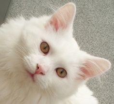 Romeo my white cat