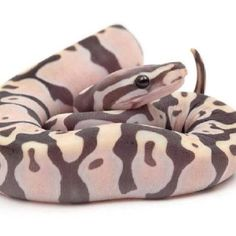This is a Male Scaleless Ball Python produced by BHB --