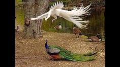 Image result for peacocks in flight