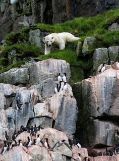 A female polar bear stalks her prey in Norway. Wildlife photographer Paul Goldstein captured the extraordinary efforts of the hungry polar bear hoping to grab guillemots and kittiwakes from the side of a cliff