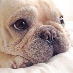 CUTE!!!!!! french bulldog puppy <3