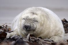 Kegelrobbe  gray seal