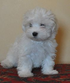 Pictures of white havanese puppies - Google Search
