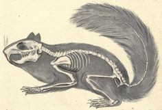 """biomedicalephemera:  Skeleton of the squirrel, showing its relation to the body Check out that skull and those teeth - the family Sciuridae is more closely related to beavers, dormice, and porcupines, than they are to your average household rodent, despite looking like """"fancy-dress rats"""". The skull is often a key differentiating factor for comparative zoologists. The design of the inner ear and teeth/jaws can often point to a very different (and much more accurate) classification of a…"""