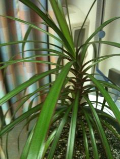 House Plant Identification | Need Help Id Ing A House Plant (palms, Tree
