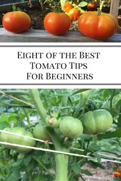 Eight of the Best Tomato Tips for Beginners