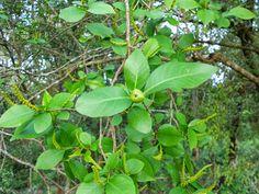 Folha de Orixa- ewé bonokó