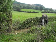 Hedge Laying - The stem of the tree or bush is partially cut at its base at an angle. The art is in knowing how much to cut through the stem while keeping life in the remaining connected piece but allowing the flexibility needed to bend the trunk 35 to 60 degrees without breaking. These remaining stems or trunks are now known as pleachers. The angled trunk stump is cut off straight to prevent disease and promote new vertical growth.