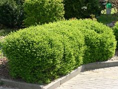 1000 images about lonicera nitida on pinterest taxus baccata hedges and topiaries. Black Bedroom Furniture Sets. Home Design Ideas