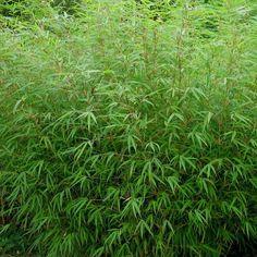 Vente en ligne Fargesia rufa - Bambou NON-TRAÇANT persistant et non envahissant à chaumes vertes idéal pour une plantation en haie et en bac.
