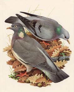 Vintage DOVE print, Columbine pigeon, grey dove