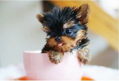 Teacup Yorkie in a Teacup
