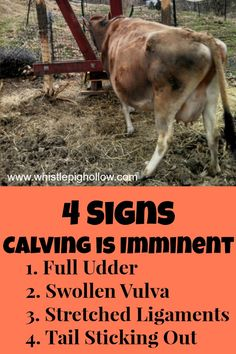 When Will My Cow Calve? {Vulva Watch 2014} | Whistle Pig Hollow