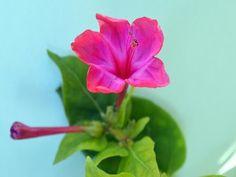 Carmine (Mirabilis) flower (HD1080p) - YouTube