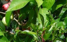 Khasiat dan Manfaat daun salam - Hampir semua orang pernah melihat daun salam ini, tetapi tidak tau...