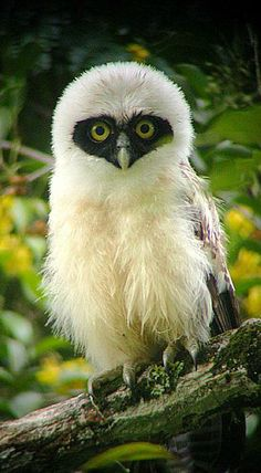 Chouette à lunettes // Spectacled Owl . large tropical owl native to the neotropics. Beautiful Owl, Animals Beautiful, Cute Animals, Wild Animals, Farm Animals, Owl Photos, Owl Pictures, Pretty Birds, Love Birds
