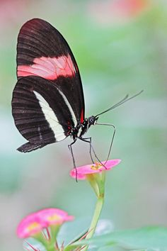 """Helioconius erato""...#butterfly #black/white #pink-flowers"