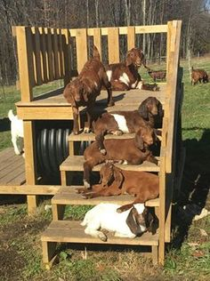 15 Goat's Playground Ideas For Your Farm - The Best Goat Playground Ideas, Tips, Plans and Images Goat Playground, Playground Ideas, Indoor Playground, Cabras Boer, Goat Shelter, Goat Pen, Happy Goat, Goat Care, Boer Goats