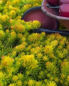 (Blue Spruce Stonecrop) Sedum 'Angelina', a stand-out in your garden landscape. The needle-like leaves are a golden-yellow with yellow flowers appearing on 6-8 inch tall stalks in early summer. Falls brings even more color when the tips of the leaves of 'Angelina' turn a reddish-orange and lasts all winter long. The low, spreading mat of foliage is a great groundcover but the plant will also add visual interest to combination containers.