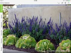 Succulents and purple tall flowers ~