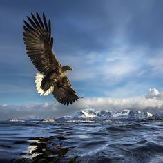 White-tailed Eagle catching a fish in Norway  #animal #white-tailed #eagle #catching #fish #norway #photography