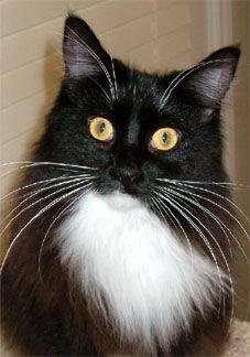 #MaineCoon #Solid #BlackAndWhite, CFA Ch/TICA RW-SGC Terrificats Velveteen Rabbit Small Kittens, Big Cats, I Love Cats, Cats And Kittens, Orange Cats, White Cats, Maine Coon Cats, Cat Breeds, Ragdoll Cats