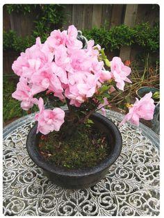 Circles Of Rain: Beautiful Bonsai