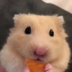 Shop for dogs, cats, fish, small animals and Hamster Habitat, Hamster Care, Baby Hamster, Cute Funny Animals, Cute Baby Animals, Animals And Pets, Cute Dogs, Funny Hamsters, Robo Dwarf Hamsters