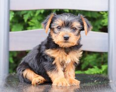 Total Cuteness😍 overload, am I right?🎀 Gunner is the absolute #Sweetest little #YorkshireTerrier puppy you will find! He is #Playful and has lots of energy, so you will never be bored with this little charmer.🌷 #Charming #PinterestPuppies #PuppiesOfPinterest #Puppy #Puppies #Pups #Pup #Funloving #Sweet #PuppyLove #Cute #Cuddly #Adorable #ForTheLoveOfADog #MansBestFriend #Animals #Dog #Pet #Pets #ChildrenFriendly #PuppyandChildren #ChildandPuppy #LancasterPuppies www.LancasterPuppies.com Yorkie Puppy, New Puppy, Puppy Love, Puppies For Sale, Dogs And Puppies, Little Charmers, Lancaster Puppies, Yorkshire Terrier Puppies, Animals Dog