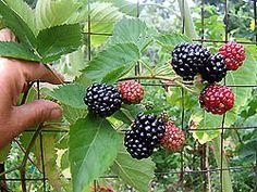 """Triple Crown"" blackberry"